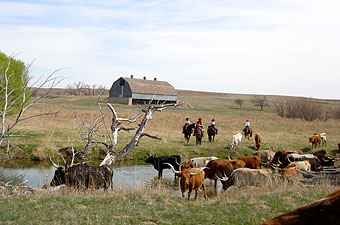 Cattle Drive, Moore Ranch, Kansas - Credit: Moore Ranch