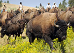 Custer State Park Buffalo Roundup, South Dakota - Credit: South Dakota Department of Tourism