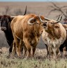 Longhorn cattle at the Flying W, Kansas - Credit: Flying W Ranch
