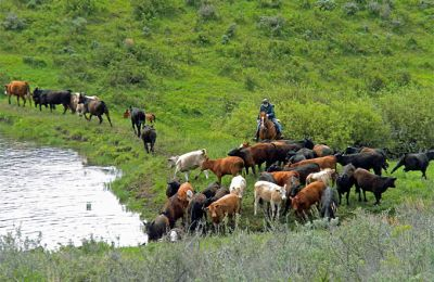 CO/Focus Ranch/Cattle Drive 2